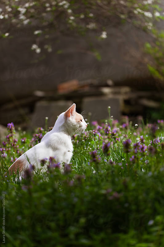Cat sitting in the sunlight in flowered lawn by Laura Stolfi for Stocksy United