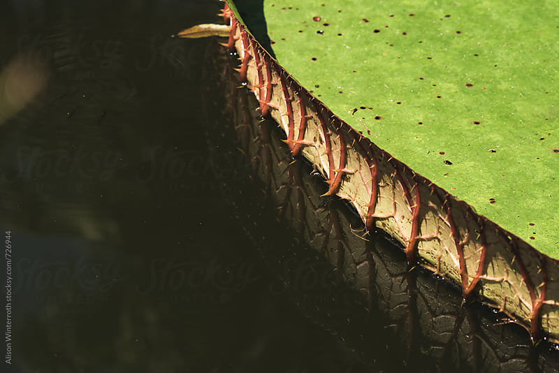 The Side Of A Lily Pad With Thorns by Alison Winterroth for Stocksy United