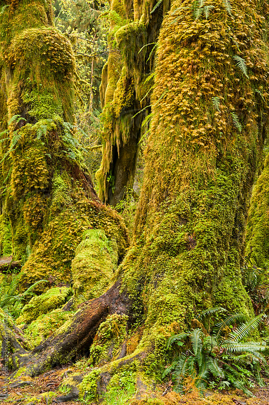 Moss covered maple trees in Spring by Mark Windom for Stocksy United