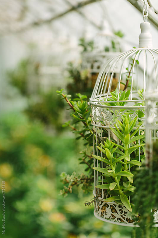 Succulents hanging in a bird cage by Maa Hoo for Stocksy United