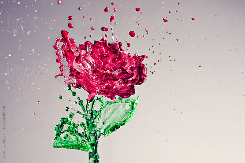 Splash of Rose by Anthony Chang for Stocksy United