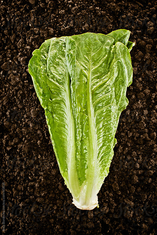 Organic Lettuce :Fresh picked natural vegetable in soil by Ania Boniecka for Stocksy United