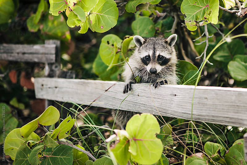 A Curious Raccoon by Stephen Morris for Stocksy United