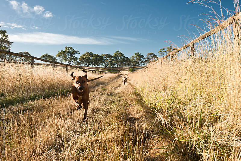 dogs out for a morning run by Gillian Vann for Stocksy United