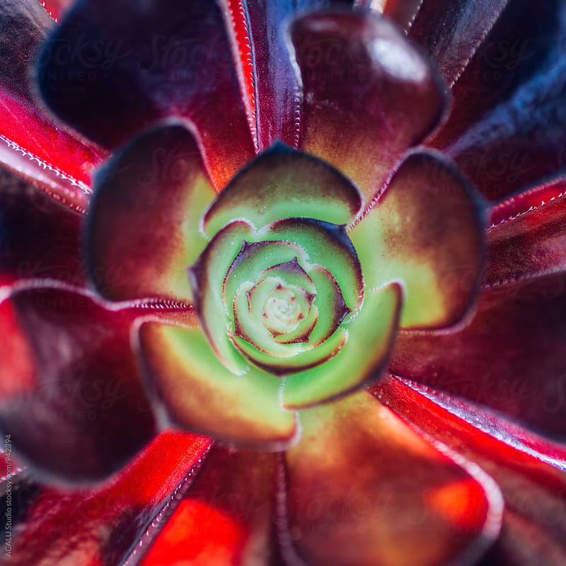 Macro photo of a bordeaux succulent by ACALU Studio for Stocksy United