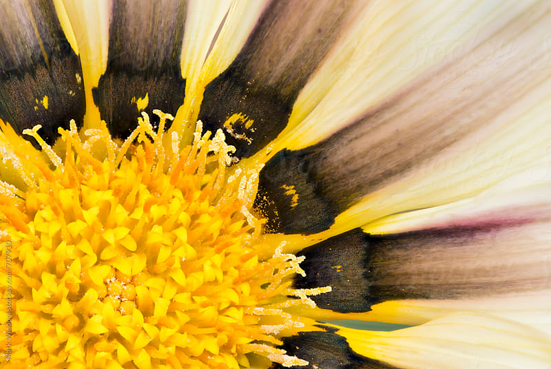 Gazania blossom, closeup by Mark Windom for Stocksy United