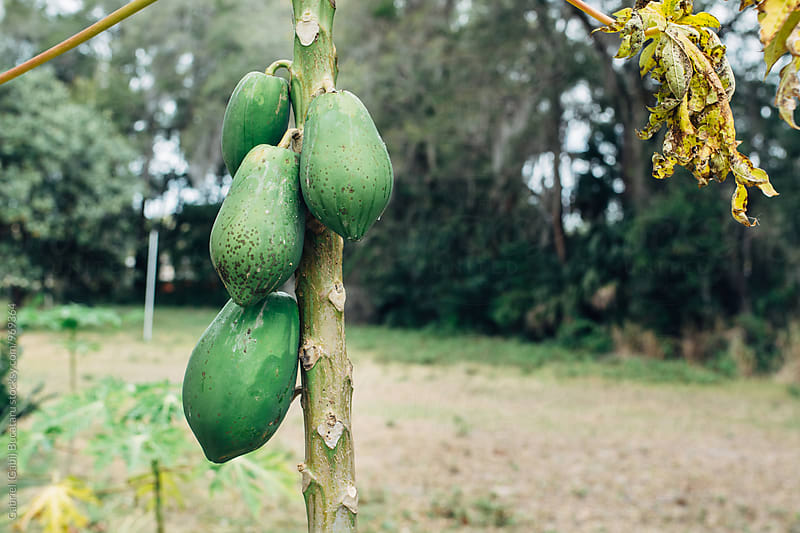 Papaya tree with fruit by Gabriel (Gabi) Bucataru for Stocksy United