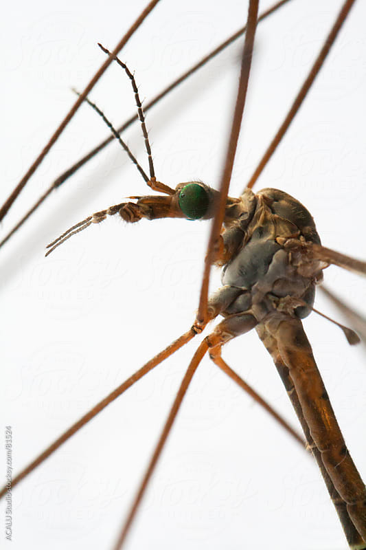 Macro of a giant mosquito by ACALU Studio for Stocksy United