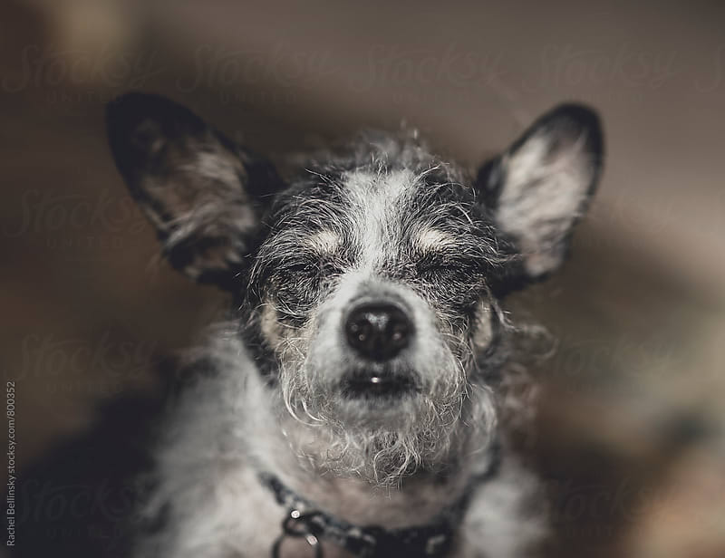Scruffy terrier with her eyes closed into the sun. by Rachel Bellinsky for Stocksy United