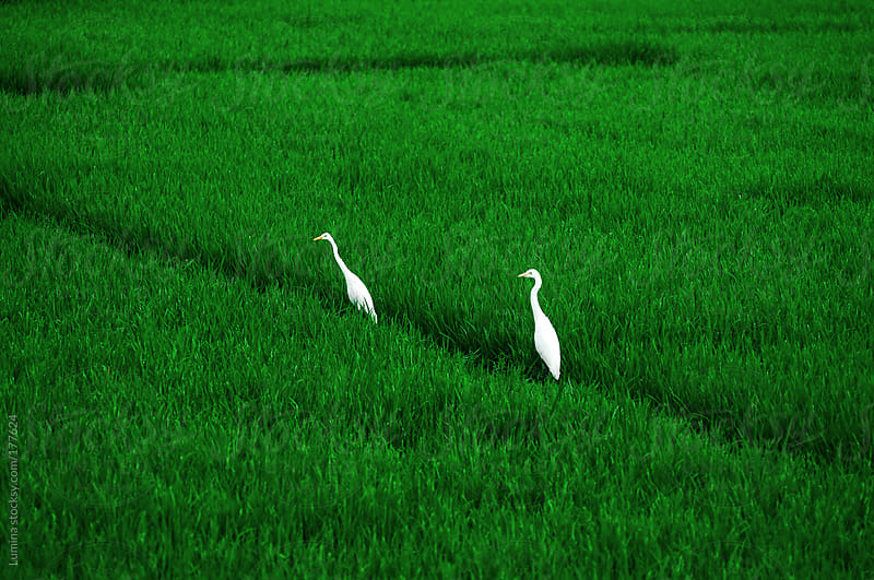 Herons in the Field by Lumina for Stocksy United