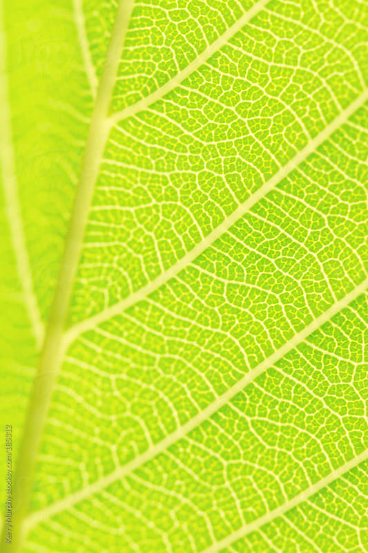 Macro of new spring green leaf by Kerry Murphy for Stocksy United