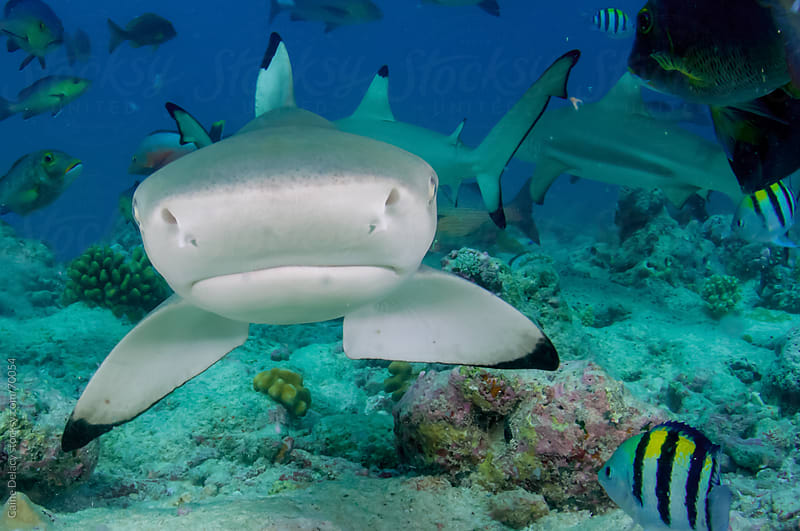 Black tip Reef Shark on coral reef by Caine Delacy for Stocksy United