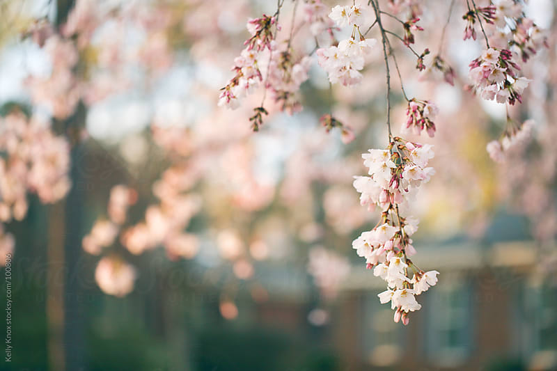 cherry tree blossoms by Kelly Knox for Stocksy United