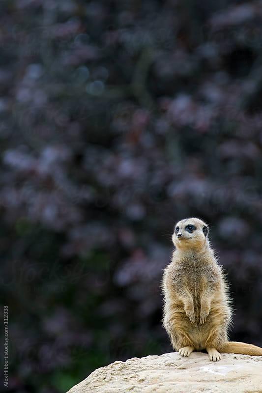 Meerkat by Alex Hibbert for Stocksy United