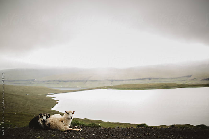 Faroe Islands Sheep and Rams by Rachel Gulotta Photography for Stocksy United