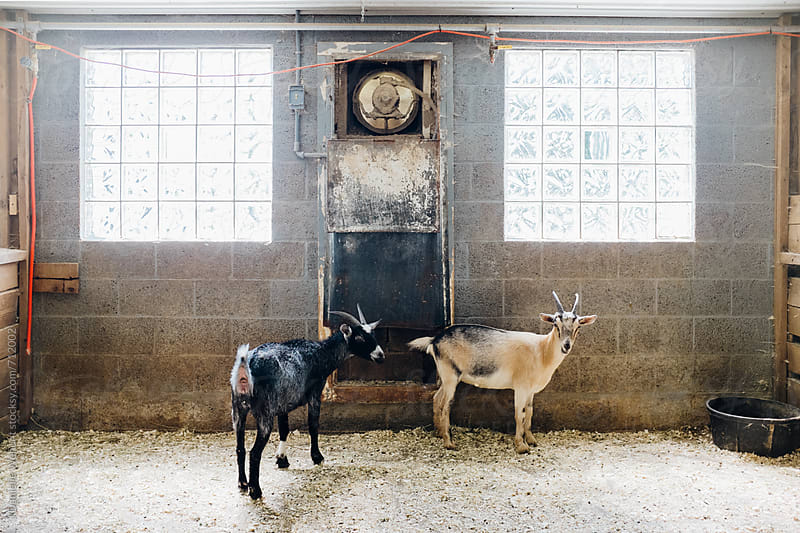 Two goats standing in a barn stall looking at the camera. by J Danielle Wehunt for Stocksy United
