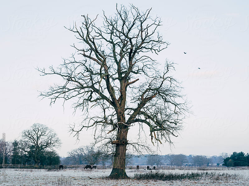 Horses and tree on a frosty Winter morning.  by Liam Grant for Stocksy United