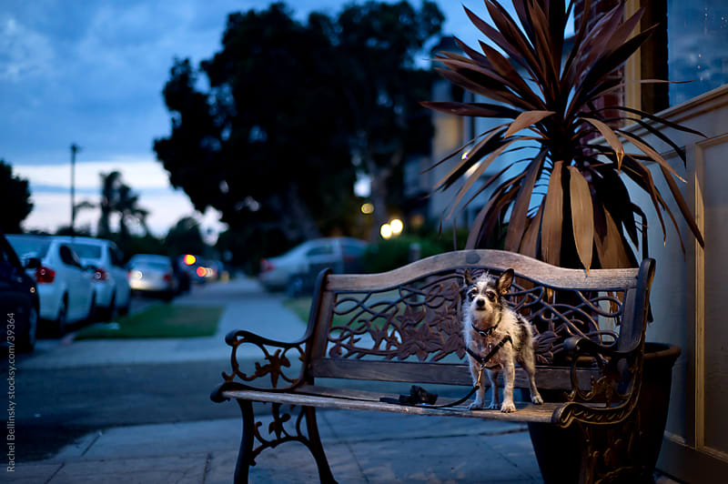 Dog on bench in blue and yellow light at dusk by Rachel Bellinsky for Stocksy United