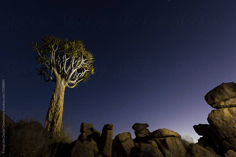Quiver Tree during morning sunrise at giants' playground by Fotografie Daniel Osterkamp for Stocksy United