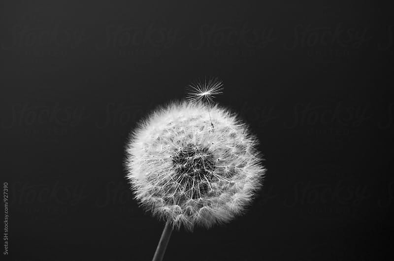 Flower dandelion by Sveta SH for Stocksy United