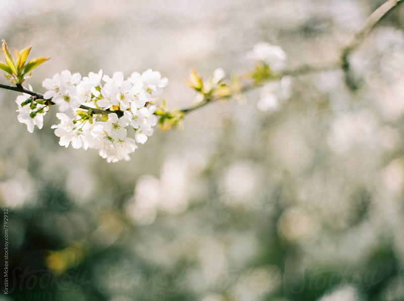Apple blossom in Spring by Kirstin Mckee for Stocksy United