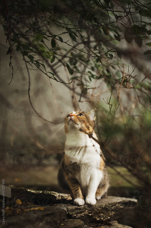 Tabby cat looking up while sitting under shrub in wintry garden by Laura Stolfi for Stocksy United