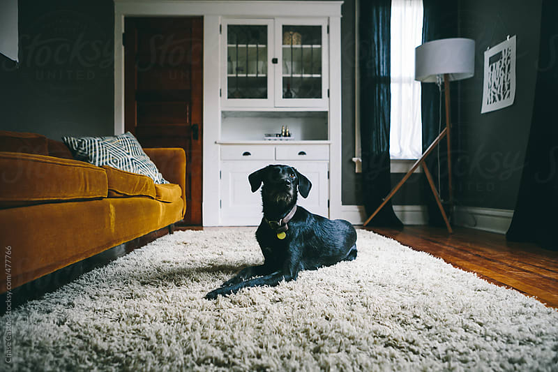 Dog on the Rug in the Living Room by Chase Castor for Stocksy United