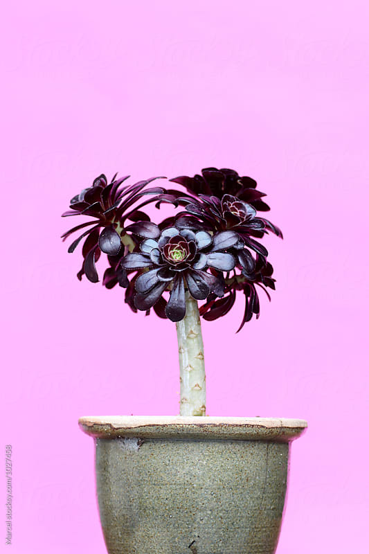 Aeonium arboreum 'Zwartkop' by Marcel for Stocksy United