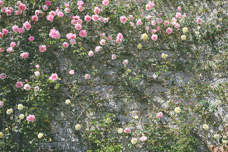Vine Roses Clinging on Masonry Wall by Joselito Briones for Stocksy United