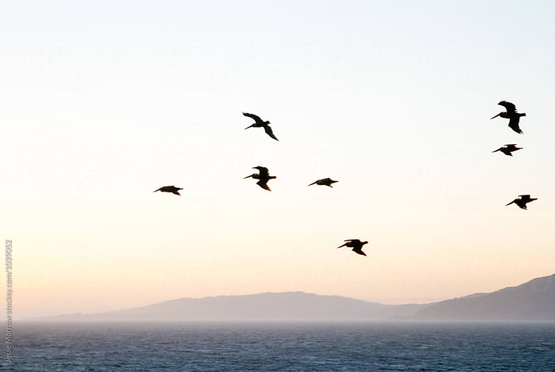 pelican birds flying above ocean water at sunset by Jesse Morrow for Stocksy United