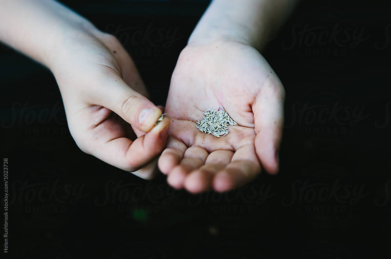 A child's hands holding lettuce seed. by Helen Rushbrook for Stocksy United
