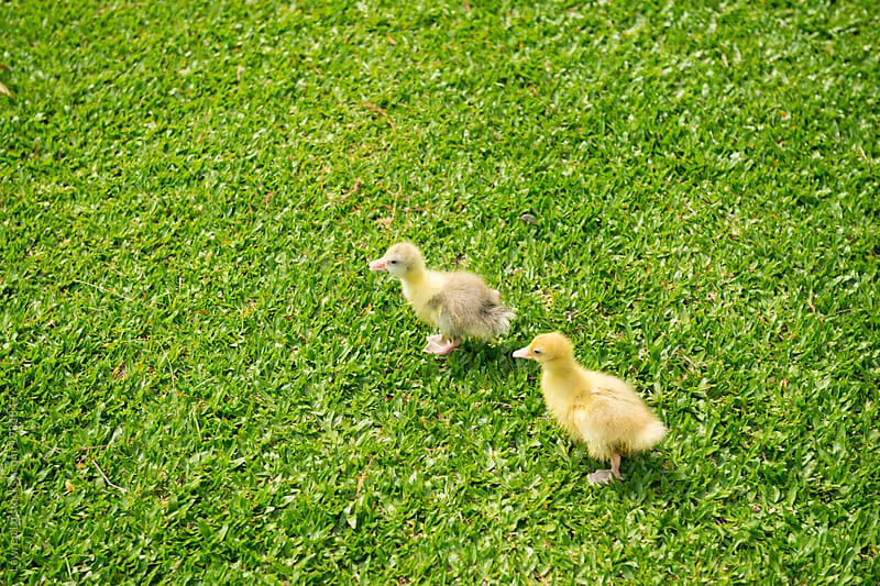 Two goslings walk on green grass by Lawren Lu for Stocksy United