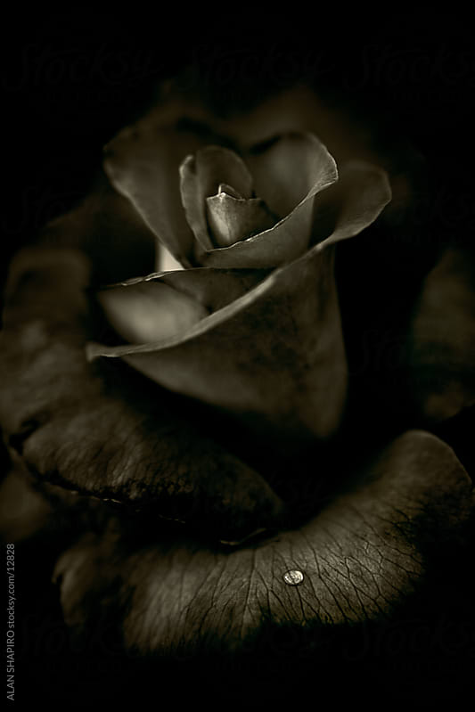 Monochrome Rose with water droplet by alan shapiro for Stocksy United