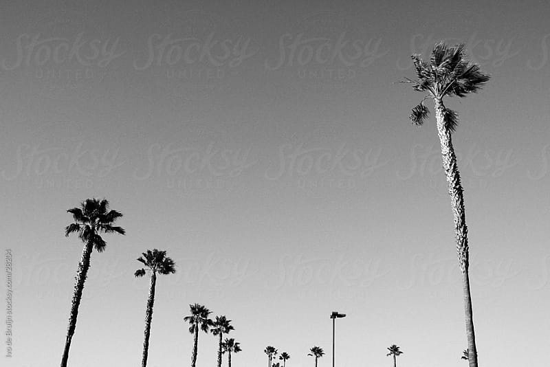 Palmtrees lined up in the sun in a black and white image by Ivo de Bruijn for Stocksy United