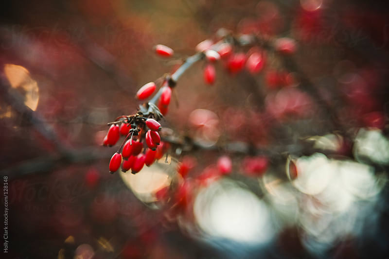 Red berries on a branch in winter. by Holly Clark for Stocksy United