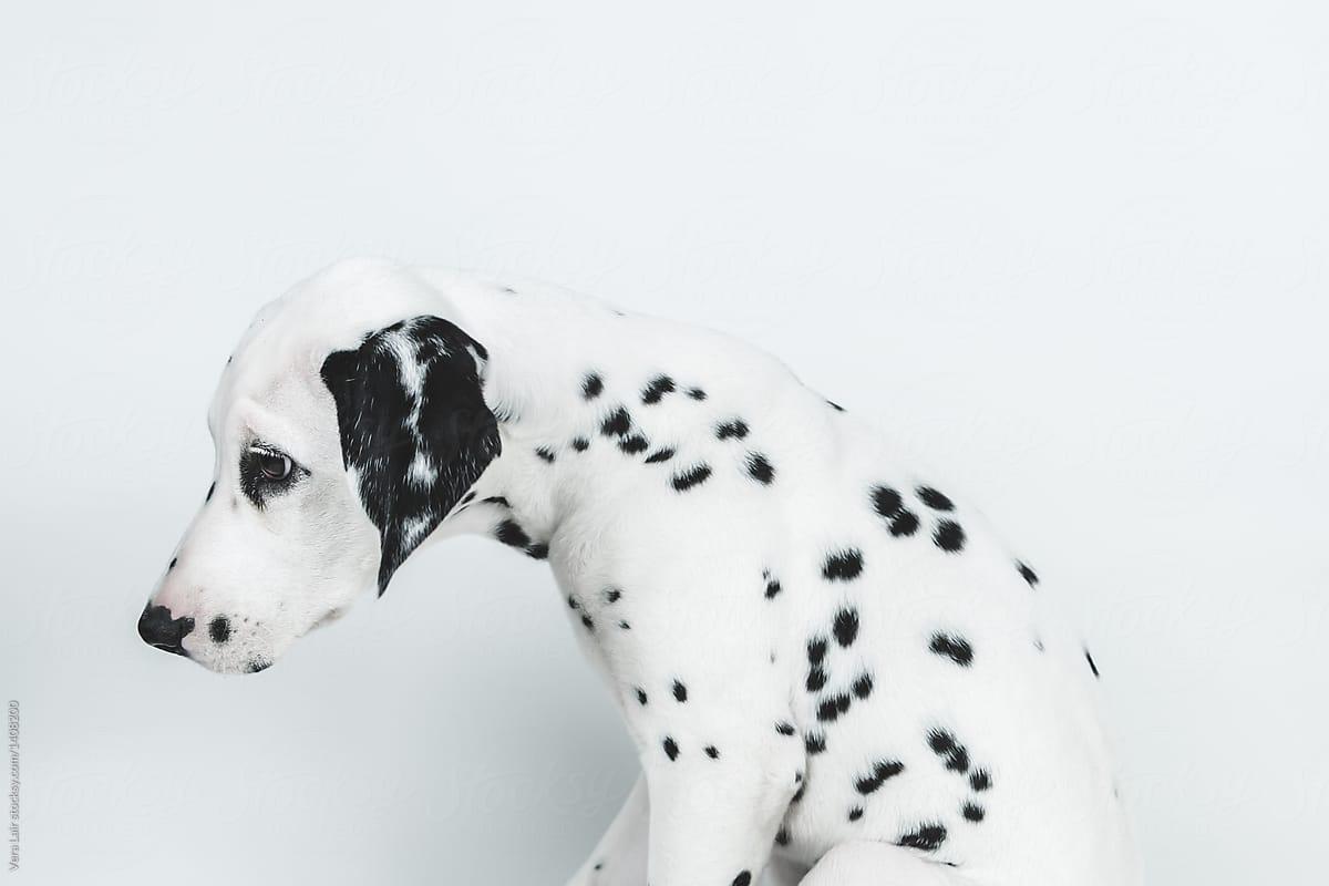 Resultado de imagen para dalmatian sad