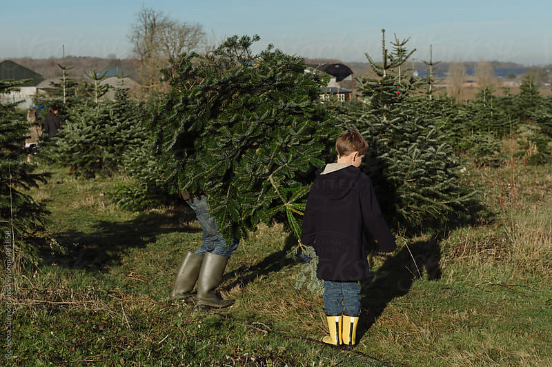 Man lifting his chosen Christmas tree by Rebecca Spencer for Stocksy United