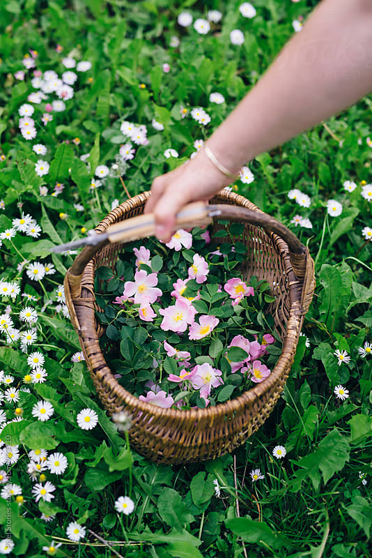 Woman picking dog rose flowers