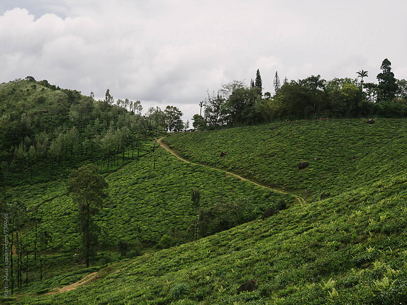 Tea Plantation under Chembra Peak by Martin Matej for Stocksy United