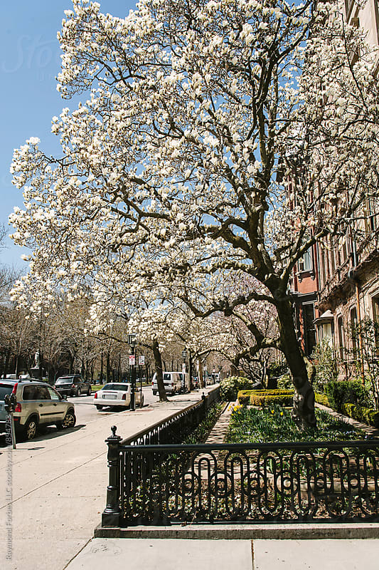 Magnolia Trees in Bloom in Boston by Raymond Forbes LLC for Stocksy United