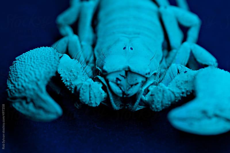 Emperor Scorpion by Rob Sylvan for Stocksy United