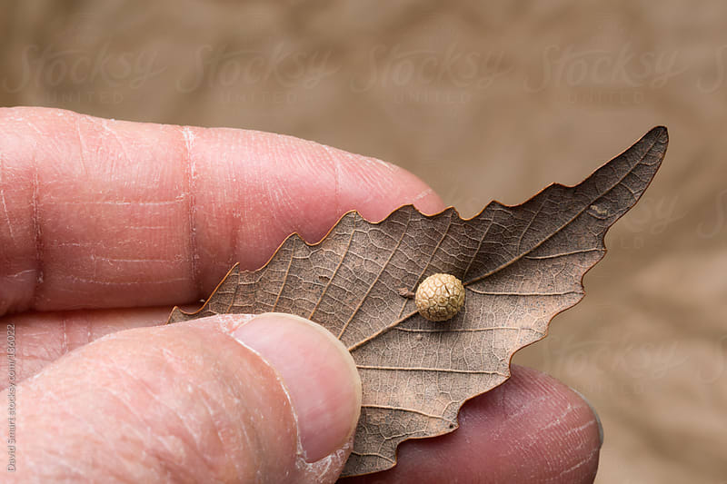 Hand holding Chestnut Oak leaf with an insect gall by David Smart for Stocksy United