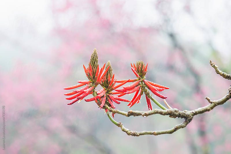 Closeup of red flowers of Coral Bean Tree by Lawren Lu for Stocksy United