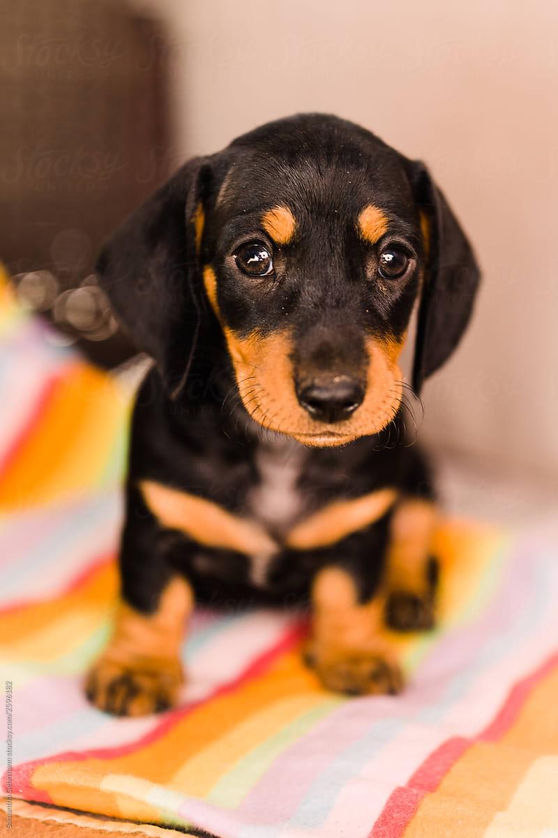 Black And Tan Dachshund Puppy By Samantha Gehrmann Stocksy United