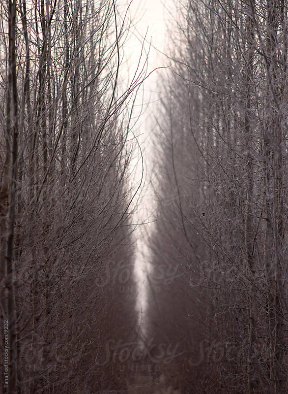 Trees in the fog. by Tana Teel for Stocksy United