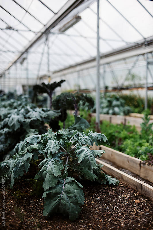 Kale growing in greenhouse by Jack Sorokin for Stocksy United