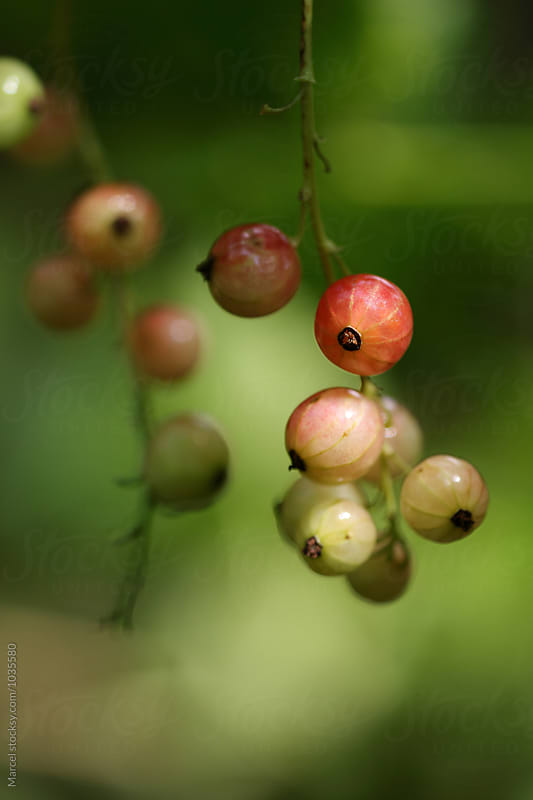 Ripening red currants on a bush by Marcel for Stocksy United