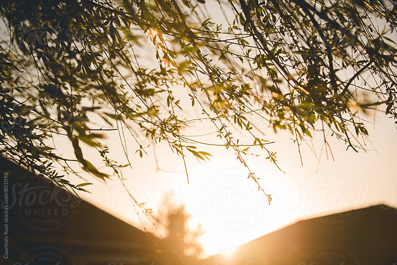 Sunset through the weeping willow by Courtney Rust for Stocksy United