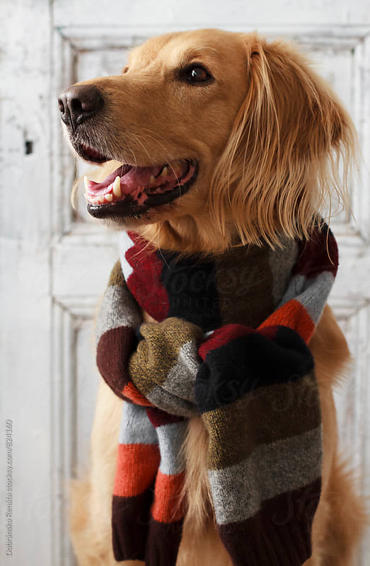 Cute dog smiling with a knit scarf by Dobránska Renáta for Stocksy United