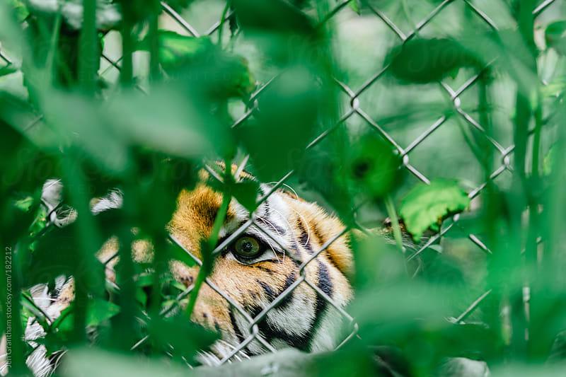 Tiger peeking through fence by Jen Grantham for Stocksy United